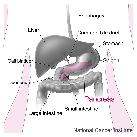 Pancreas and nearby organs