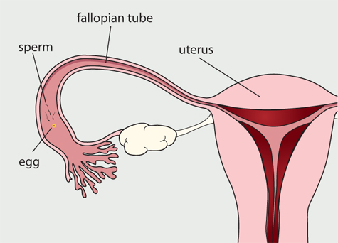 Menstrual Cycle Day 14-25