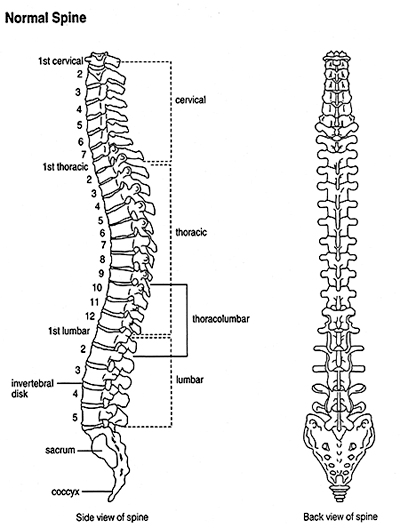 scoliosis-normal-spine